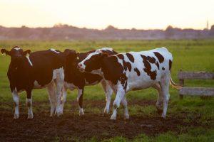 cow 300x200 - So krave na slovenski kripto sceni tudi mlekarice?
